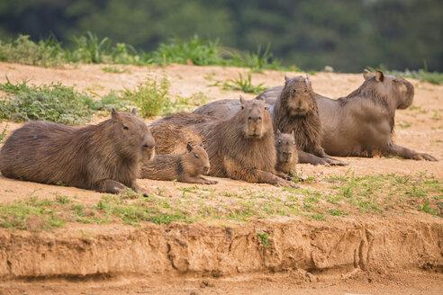 South America, Brasilia, Mato Grosso do Sul, Pantanal, Capybaras, Hydrochoerus hydrochaeris, lying on waterside - FOF006394