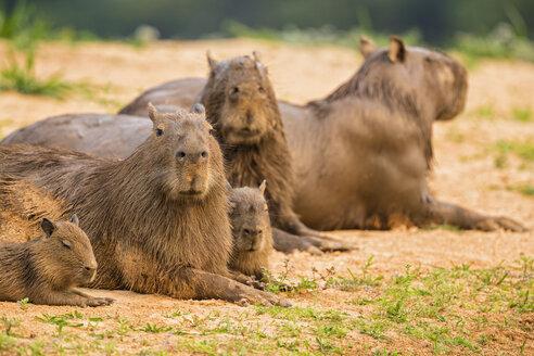South America, Brasilia, Mato Grosso do Sul, Pantanal, Capybaras, Hydrochoerus hydrochaeris, lying on waterside - FOF006399