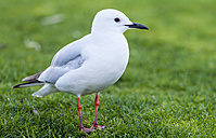 New Zealand, Lake Taupo, seagull standing in a meadow - WV000533