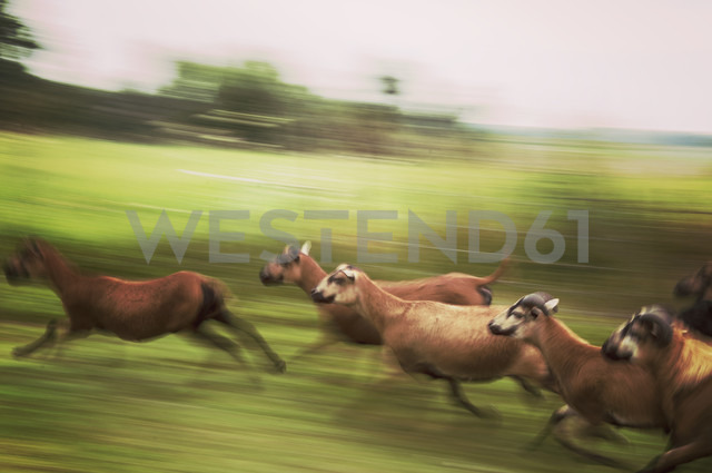 Germany, Kasebade, Running sheep - FBF000302 - Frank Blum/Westend61