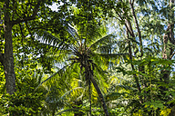 Seychelles, Northern Coral Group, Denis Island, Coconut palm in primeval forest - WEF000049