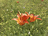 Germany, Bavaria, Upper Bavaria, Andechs, Fire lily, Lilium bulbiferum - SIEF005239