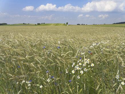 Germany, Bavaria, Upper Bavaria, Andechs, Corn field - SIEF005238