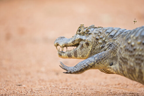 South America, Brasilia, Mato Grosso do Sul, Pantanal, Yacare caiman, Caiman yacare - FOF006422