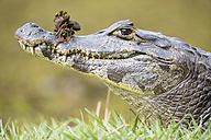 South America, Brasilia, Mato Grosso do Sul, Pantanal, Yacare caiman, Caiman yacare - FOF006406