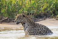 South America, Brasilia, Mato Grosso do Sul, Pantanal, Cuiaba River, Jaguar, Panthera onca, in water - FO006357