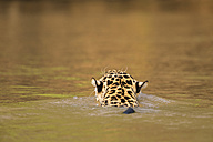 South America, Brasilia, Mato Grosso do Sul, Pantanal, Cuiaba River, Jaguar, Panthera onca, swimming, back view - FOF006362