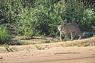 South America, Brasilia, Mato Grosso do Sul, Pantanal, Cuiaba River, Jaguar, Panthera onca, walking at riverside - FOF006363
