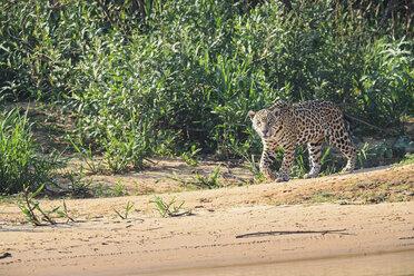 South America, Brasilia, Mato Grosso do Sul, Pantanal, Cuiaba River, Jaguar, Panthera onca, walking at riverside - FOF006363