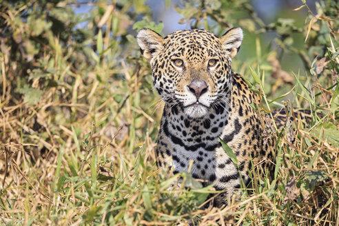 South America, Brasilia, Mato Grosso do Sul, Pantanal, Jaguar, Panthera onca - FOF006364
