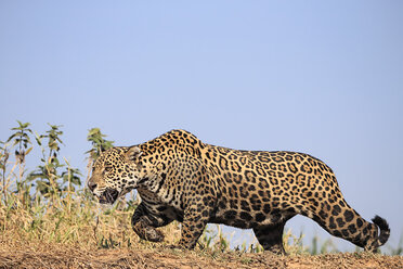 South America, Brasilia, Mato Grosso do Sul, Pantanal, Cuiaba River, Jaguar, Panthera onca - FOF006367