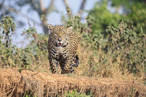 South America, Brasilia, Mato Grosso do Sul, Pantanal, Jaguar, Panthera onca - FO006368