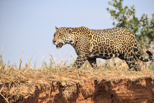South America, Brasilia, Mato Grosso do Sul, Pantanal, Jaguar, Panthera onca - FOF006369