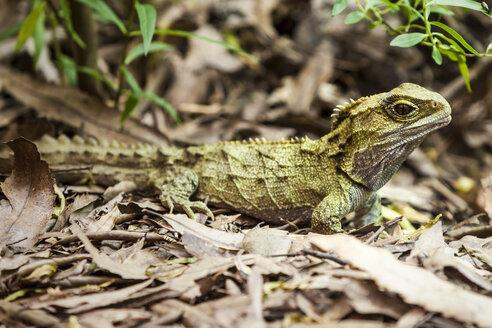 New Zealand, Pukaha Mount Bruce National Wildlife Centre, Tuatara - WV000577