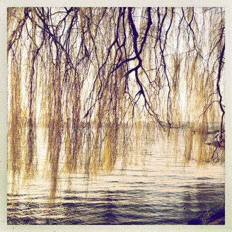 Weeping willows on the banks of the Alster, Outer Alster Lake, Hamburg, Germany - MSF003690