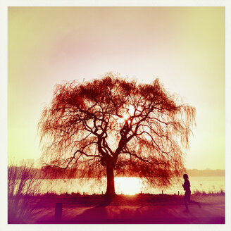 Outer Alster Lake in the morning light, tree in backlight, Hamburg, Germany - MS003684