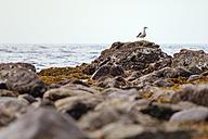 New Zealand, Wellington, Kapiti, Makara Beach, Seagull, Laridae, on rock - WV000606