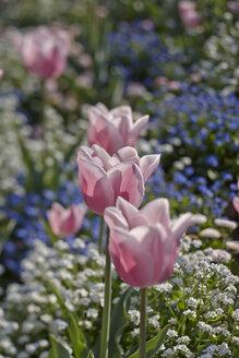 Pink tulips, Tulipa - AKF000360