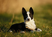 Border Collie puppy lying on a meadow - SLF000318