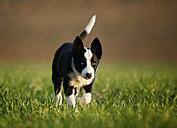 Border Collie puppy running on a meadow - SLF000316