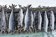 Norway, Skallelv, Stockfish drying on rack - SR000483