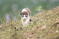 Brazil, Mato Grosso do Sul, Pantanal, Domestic cat - FOF006446