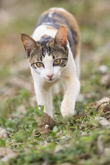 Brazil, Mato Grosso do Sul, Pantanal, Domestic cat - FO006449