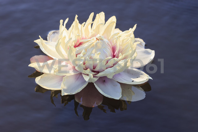 Brazil, Mato Grosso do Sul, Pantanal, Giant water lily - FOF006453