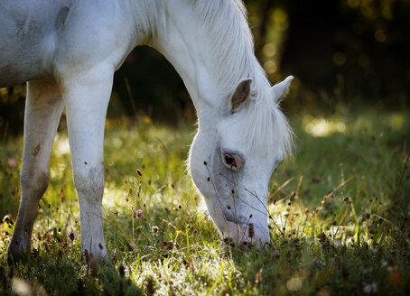 Germany, Welsh Pony grazing - SLF000323