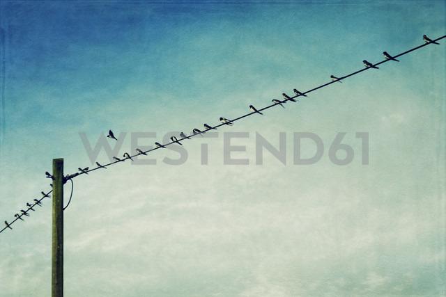 Germany, North Rhine-Westphalia, Wuppertal, Swallows, Hirundinidae, on power line - DWIF000038