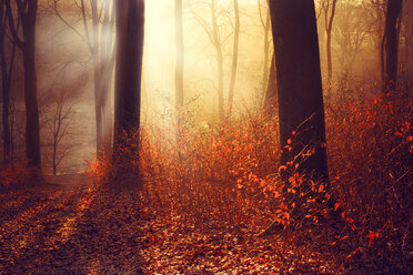 Germany, Wuppertal, forest in the morning in autumn against the sun - DWIF000026
