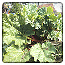 Young rhubarb plant in spring in a vegetable garden. - HAWF000073