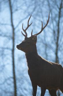 Germany, Hesse, Frankenberg, Sika deer, Cervus nippon - MHF000294