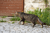 Tabby tomboy stalking in courtyard - SLF000327
