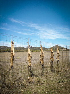 Killed coyotes, Canis latrans, hung up on the fence of a ranch for deterrence. - ABAF001308