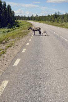 Sweden, Arvidjaur, Reindeer mother with young animal crossing road - BR000429