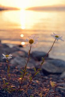 Sweden, Graenna, Wild oxeye daisy at lake Vaettern - BR000351