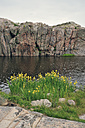Sweden, Smoegen, Iris growing at skerry coast - BR000333