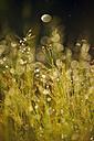 Sweden, Leksand, Drops of water on grass stalks - BR000318