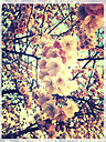blossoming cherry tree, Landshut, Bavaria, Germany - SARF000464