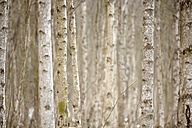 Birch trees in winter, close-up - SLF000333