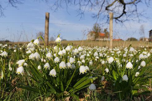 Germany, Bavaria, Upper Bavaria, Eurasburg, Spring Snowflake Flower, Leucojum vernum - SIEF005286