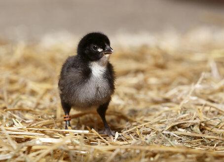 Baby chicken standing on straw - SLF000376