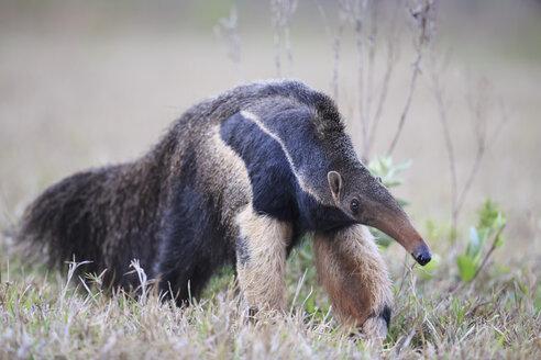 Brazil, Mato Grosso, Mato Grosso do Sul, Pantanal, giant anteater - FO006474