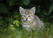Portrait of tabby kitten sitting in grass - SLF000346