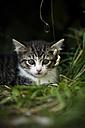 Portrait of tabby kitten lying in grass - SLF000348