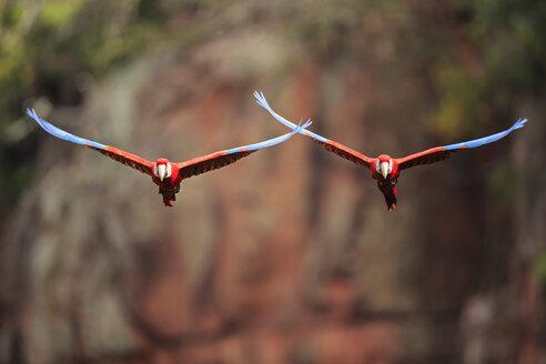 Brazil, Mato Grosso, Mato Grosso do Sul, Bonito, Buraco of Araras, flying scarlet macaw - FOF006500