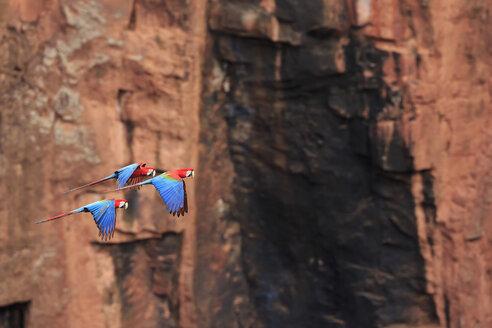 Brazil, Mato Grosso, Mato Grosso do Sul, Bonito, Buraco of Araras, flying scarlet macaws - FOF006504