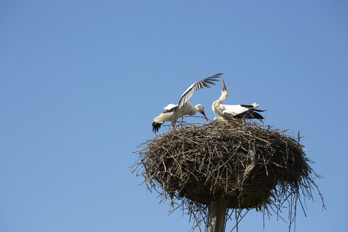 France, Alsace, Stork couple in nest near Cernay - DHL000384