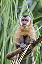 Brazil, Mato Grosso, Mato Grosso do Sul, capuchin monkey  sitting on branch - FOF006485